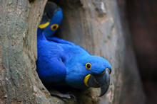 The Hyacinth Macaw (Anodorhync...
