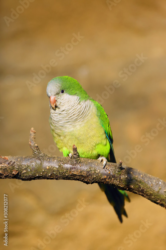 Fotografía The monk parakeet (Myiopsitta monachus), also known as the Quaker parrot sitting on the branch with yellow background
