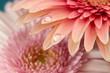 Leinwandbild Motiv ガーベラの花