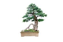 Chinese Garden Bonsai Art