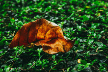 Dry Leaf On Green Bush. In Dar...