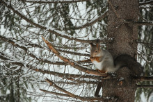 Luxurious Gray Squirrel Eats On A Tree Branch Against The Backdrop Of A Snowy Forest In Winter