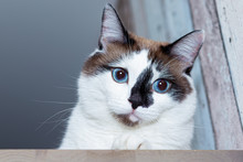 A Snow-shu Cat With Blue Eyes Tilted His Head And Looks Thoughtfully.