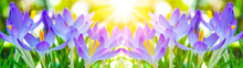 Spring Awakening - Blossoming Pink Crocuses Illuminated From The Morning Sun - Spring Background Panorama Banner Long With Space For Text