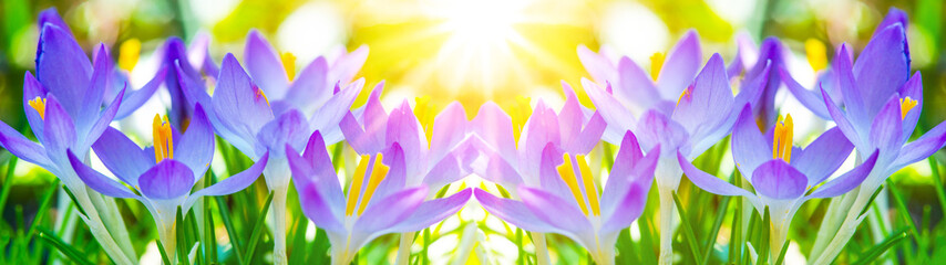 Fototapeta Optyczne powiększenie Spring awakening - Blossoming pink crocuses illuminated from the morning sun - Spring background panorama banner long with space for text