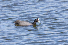 Red-knobbed Coot CFulica Crist...