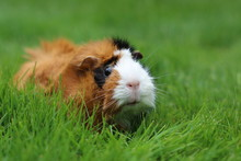 Guinea Pig On Grass Outside