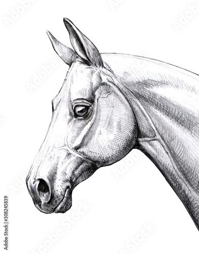 Horse head illustration. Pencil portrait of a horse. Equine drawing. Wall mural