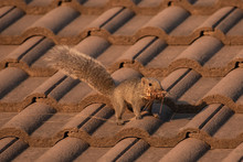 Squirrel On Roof Tiles.