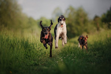 Happy Dogs Running Together Ou...