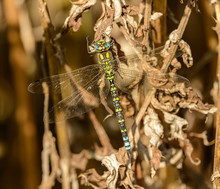 Big Blue Green Dragonfly Sitting On Dry Plant