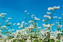 Flowering Buckwheat Field