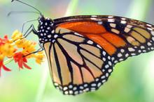 Black Orange Monarch Tiger But...