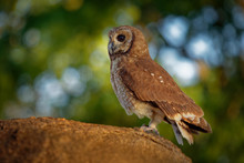 African Wood-Owl - Strix Woodf...