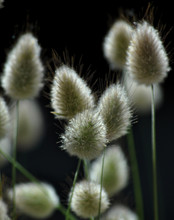 Close Up Of The Rabbit's Tail Grass Seed Head [aka Hare's Tail Or Bunny's Tail]