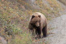 Grizzly Bear In Denali National Park In Autumn