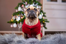 French Bulldog Dog Wearing A R...