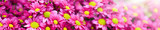 Fototapeta Na ścianę - Purple and yellow flowers bunch. Bouquets of blossom rainbow Chrysanthemum floral. Violet colored daisy flower with sun light in background.