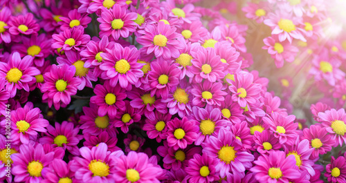 Purple pink and yellow flowers daisies banner or panorama. Bouquets of blossom rainbow Chrysanthemum floral top view. Violet daisy flower background. - 308292474