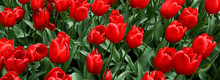 Beautiful Spring Flowers Color Garden Backround. Group Of Red Tulips In The Park Wide Banner Or Panorama.