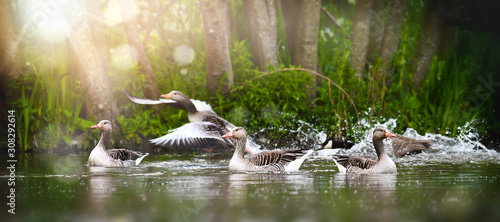 Photo Greylag goose group (anser anser) in beautiful water pond