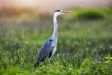 Beautiful Bird Grey Heron On Natural Habitat In High Green Grass. Ardea Cinerea
