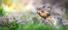 European Ground Squirrel On Gr...