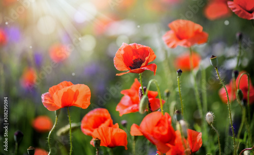 Beautiful field of wild red poppies in evening sunset. Blooming red poppy flower detail in spring and backlight. Blurred sun rays and bokeh behind flowers. - 308295094