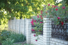 Red Roses Growing On Brick Wit...