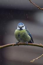 European Wild Bird In The Garden At Winter Time