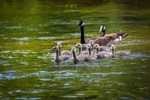 Canada Goose And Gosling In Wa...