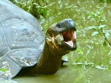 Sehr Alte Galapagos Riesenschildkröte Lacht Oder Gähnt Mit Weit Offenem Maul