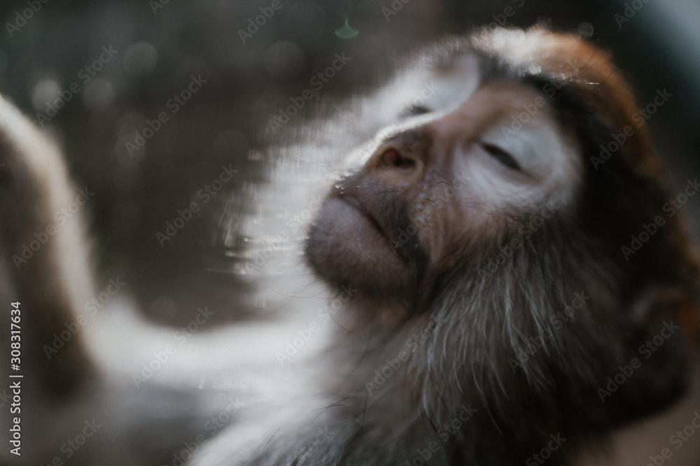 Fototapeta Smutna małpka w zoo
