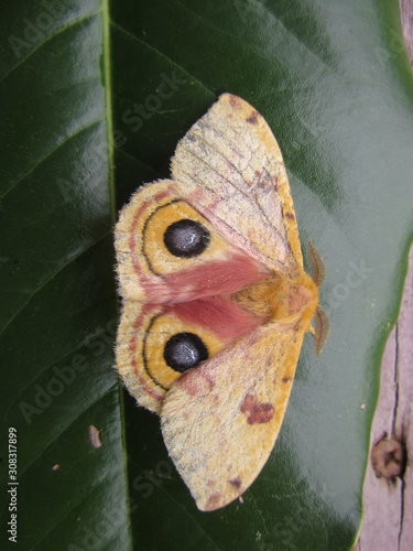 Closeup of a giant silk moth, polyphemus, with eye-like spots, resting on a magn Tablou Canvas