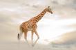 canvas print picture - Giraffe walking in desert alone