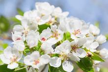 Spring Blossom Background. Blo...