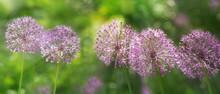 Purple Allium Flowers Growing ...