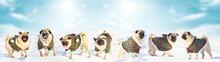 A Trio Of Three Cute Pug Dogs ...