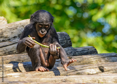 Bonobo (Pan paniscus) baby playing with his food Wallpaper Mural