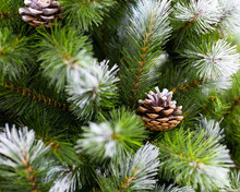 Beautiful Christmas Tree Green Needles Covered With Snow And Natural Pine Cones. Artificial Spruce Branch For Decoration New Year And Christmas Holiday