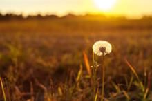 Spring Ripening Dandelion Flower In Sunlight Sunrise, Light Gentle Background, Spring Mood