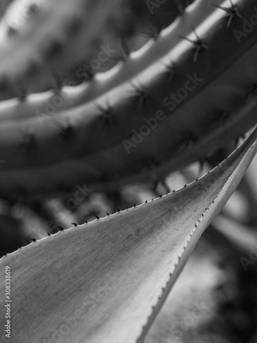 Black and white macro picture of perennials, beautiful leaf with spikes and need Canvas Print