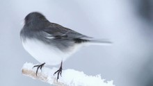 Dark Eyed Junco Female, Junco Hyemalis, Perched Left Spins 360 During Snowstorm