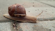 Close-up Of A Snail On The Sid...