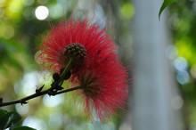 Fleur Australienne