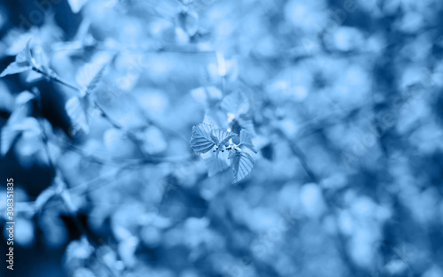 Fototapety, obrazy: Beautiful young spring leaves on faded blurred background in trendy blue color. Trendy backdrop for your design. Color of the year 2020 concept. Copy space.