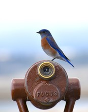 A Male Western Bluebird (Sialia Mexicana) Perched On A Spotting Scope At Elkhorn Slough National Estuarine Research Reserve, California