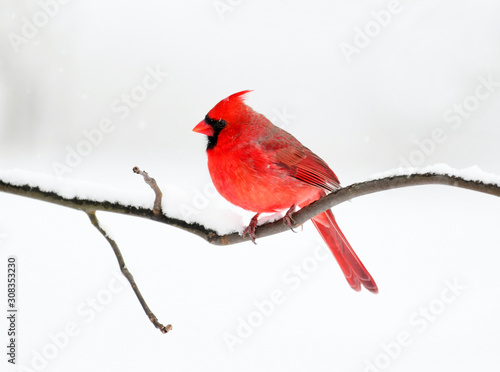 Photo male red cardinal standing on tree branch after snow