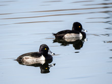 Ring-Necked Duck 1