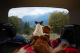 Fototapeta Psy - dog camping in the car. Nova Scotia Duck Tolling Retriever and Jack Russell Terrier in the luggage compartment. Pets on vacation.
